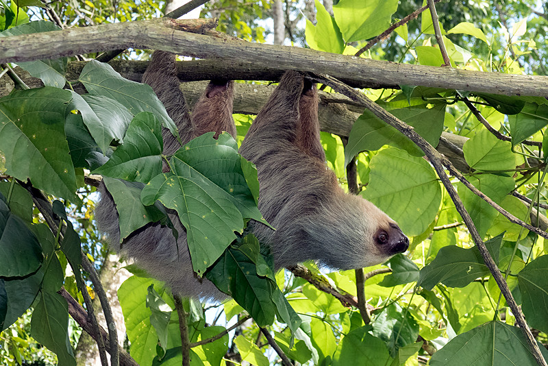 Another sloth along the railroad path