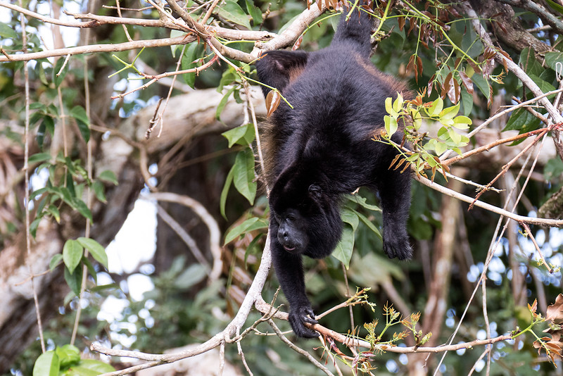 Howler monkey (never made a sound)