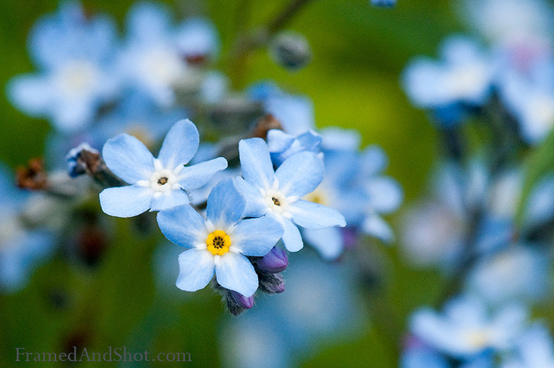 <strong><Center>Forget Me Not