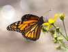 Monarch<br /> Pena Blanca Lake, AZ