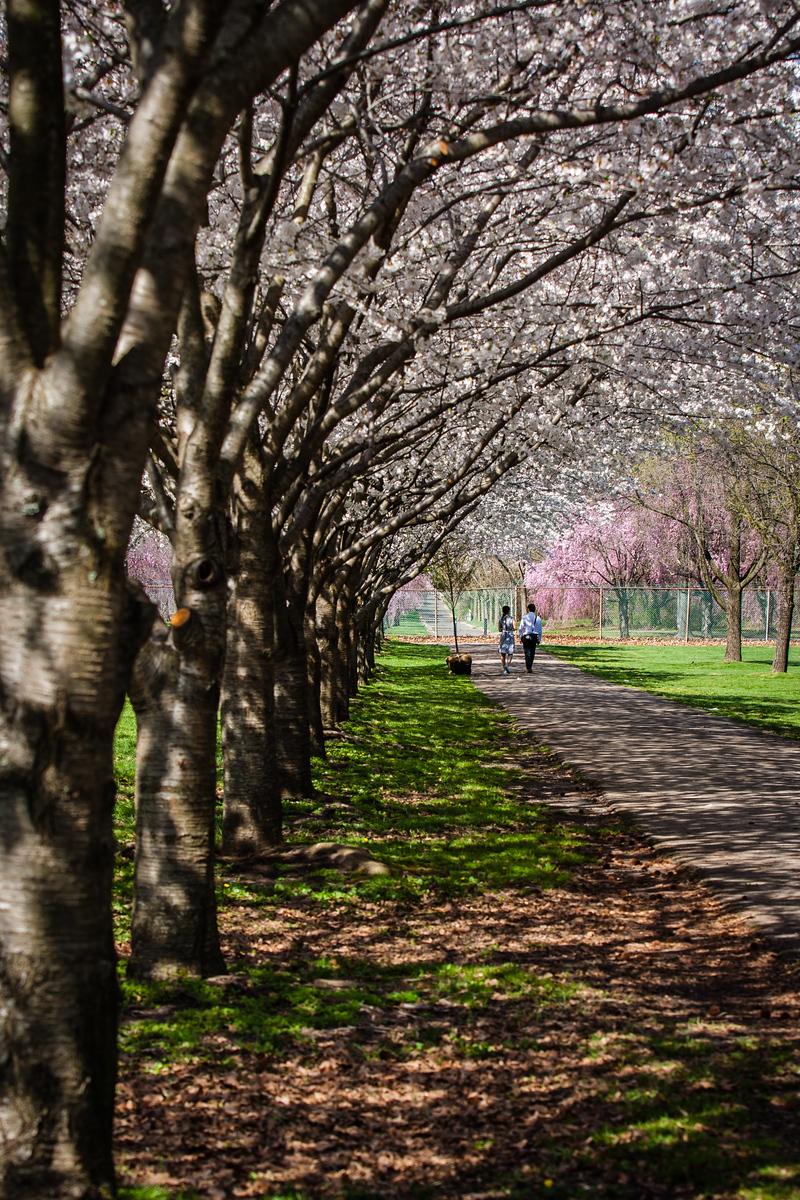 A Stroll Beneath the Cherry Trees