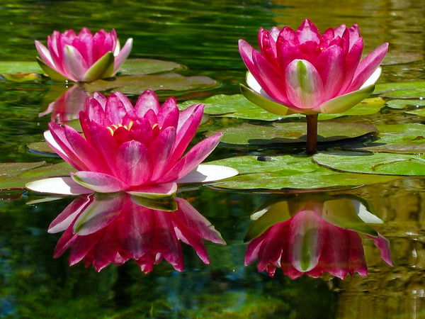 Reflective Water Lilies.