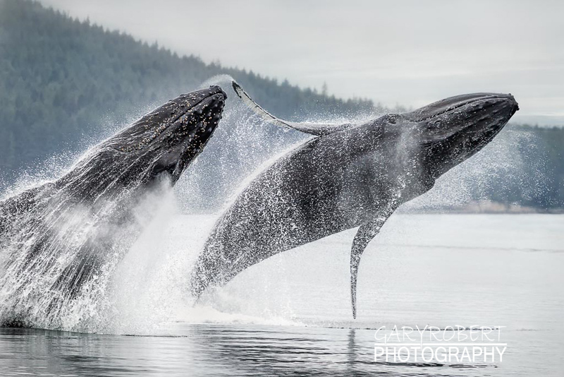 Dual Whale Breech