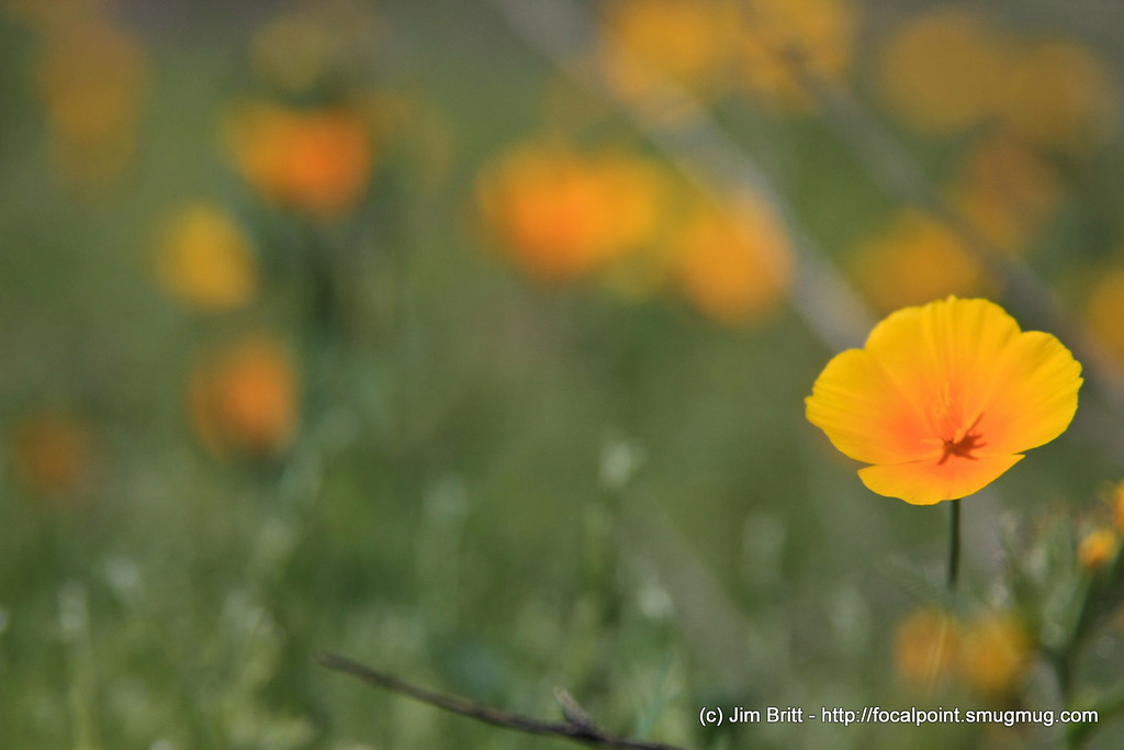Lonely Wild Flower - taken at Picacho Peak State Park this last weekend.