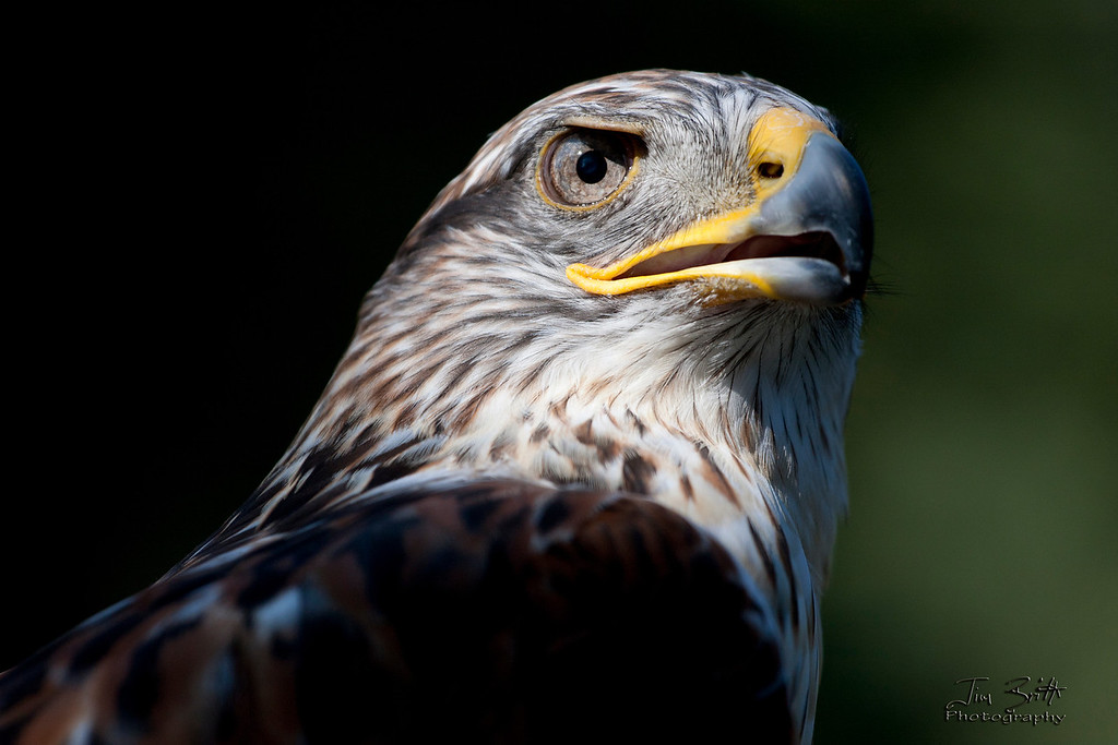 """(partially paraphrased from the owner of this bird) This is a Ferruginous Hawk (Buteo regalis) taken at the annual Washington Falconers Association Picnic  <a href=""""http://www.wafalconers.org/"""">http://www.wafalconers.org/</a>).  It is held every year as a fund raiser, get together of other WA falconers and a chance for public interest/falconer interest to attend.  Also a good way for members to meet and connect with others in the state.  I must say this was probably the highlight of the event for me and a beautiful bird to photograph!"""