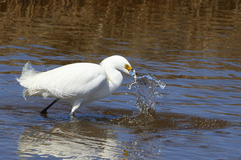 Snow egret.
