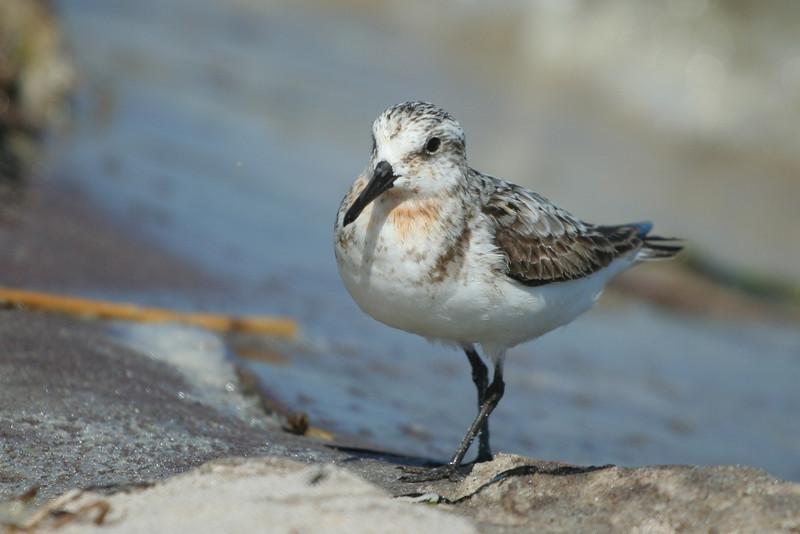 Plover on the beach, Pikes, WHB.