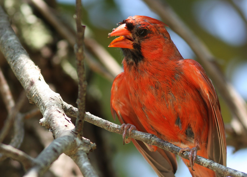 A male cardinal at Wertheim National Wildlife Refuge. Wertheim National Wildlife Refuge, Shirley, NY.