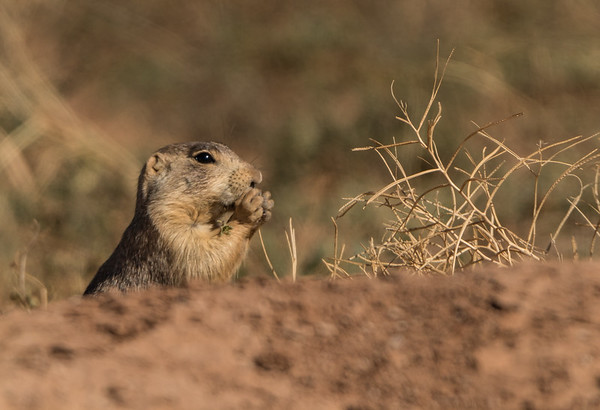 Prairie Dog Snack