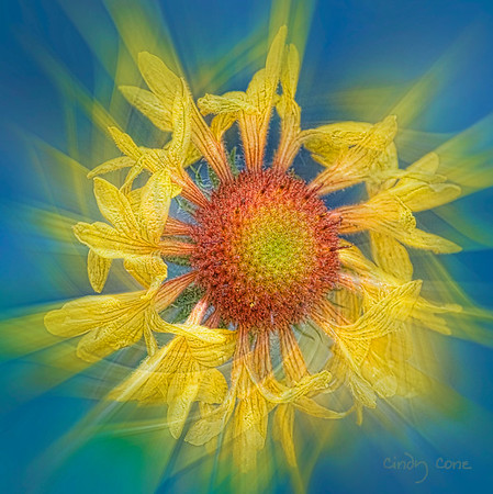 Blanket Flower Twirl