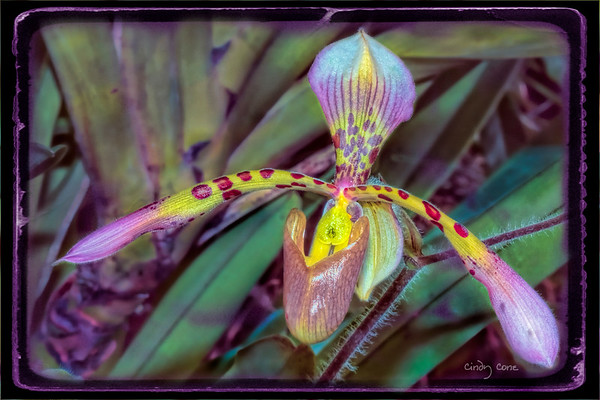 Orchid Frills