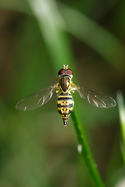 A female hoverfly (Toxomerus marginatus) pauses on the tip of a blade of grass.