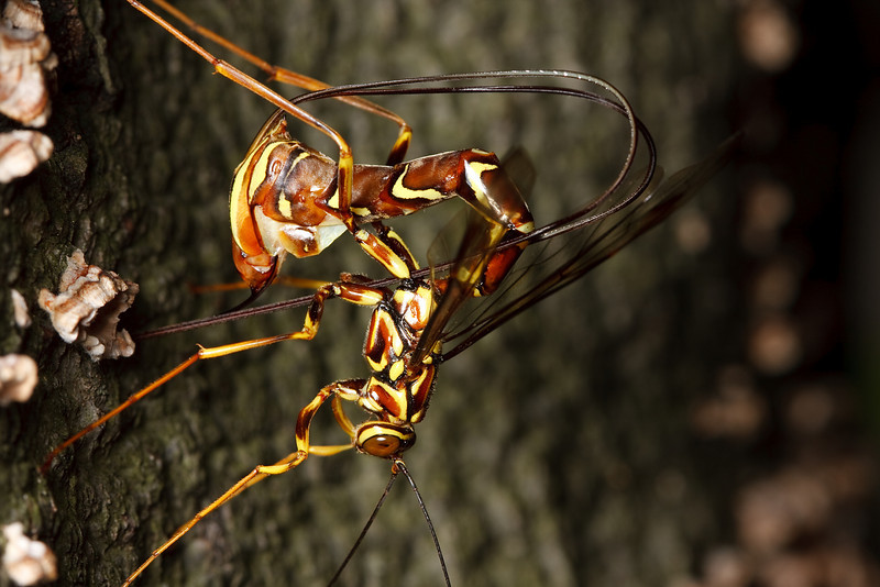 Ichneumon laying egg