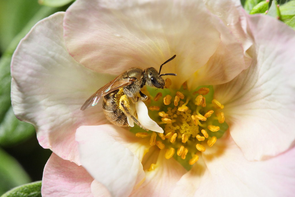 A sweat bee (<i>Lasioglossum</i>) gathering pollen from a small pink rose.