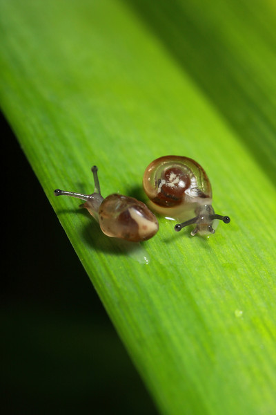 Two very tiny snails cross paths.