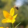Incoming Bee