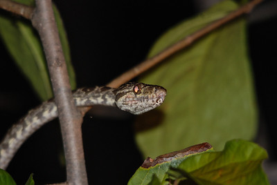 Boa Constrictor - Guyana