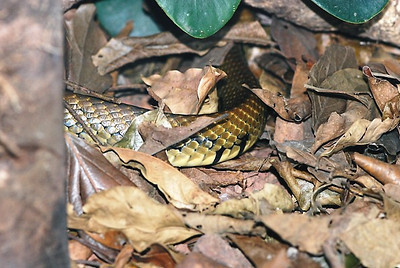Snake body moving quickly through the leaf litter - Costa Rica