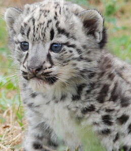 Snow Leopard cub who is going to be released through a conservation program back to the Himalayas.