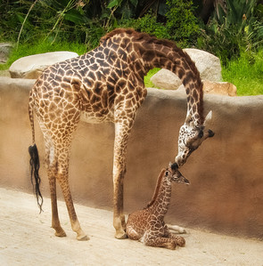 Baby Sofie and her Mother, Hasina, at The Los Angeles Zoo