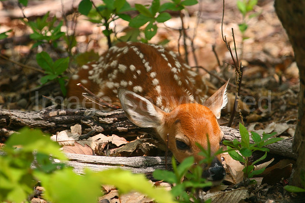 Fawn laying in woods - 6/5/08