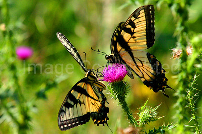 Two Eastern Tiger Swallowtail Butterflies