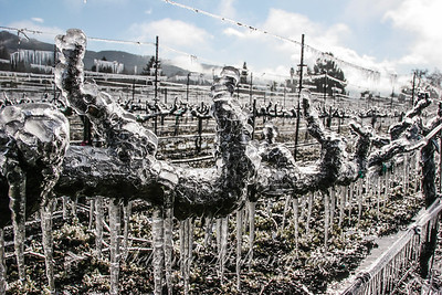 Frozen Vines, Chateau St Jean, Kenwood