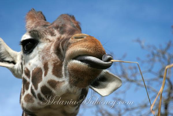 Giraffe5619