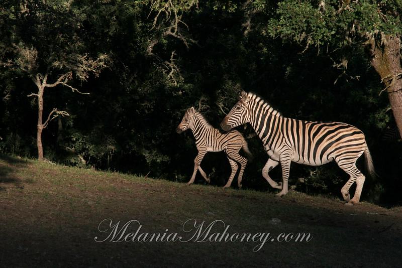 Mom & Baby Zebras, Safari West