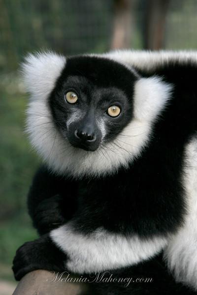 Lemur, Safari West