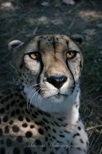 Cheetah875