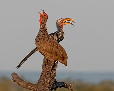 Swainson's Spurfowl/ Yellow-billed Hornbill
