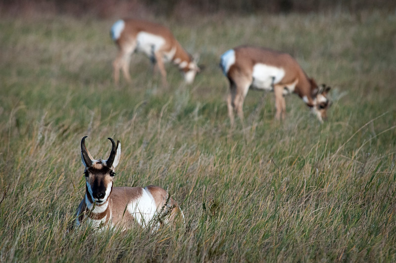 Guardian Pronghorn