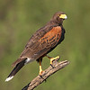 Harris' Hawk, Roma, Texas