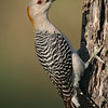 Yellow Bellied Woodpecker, Roma, Texas