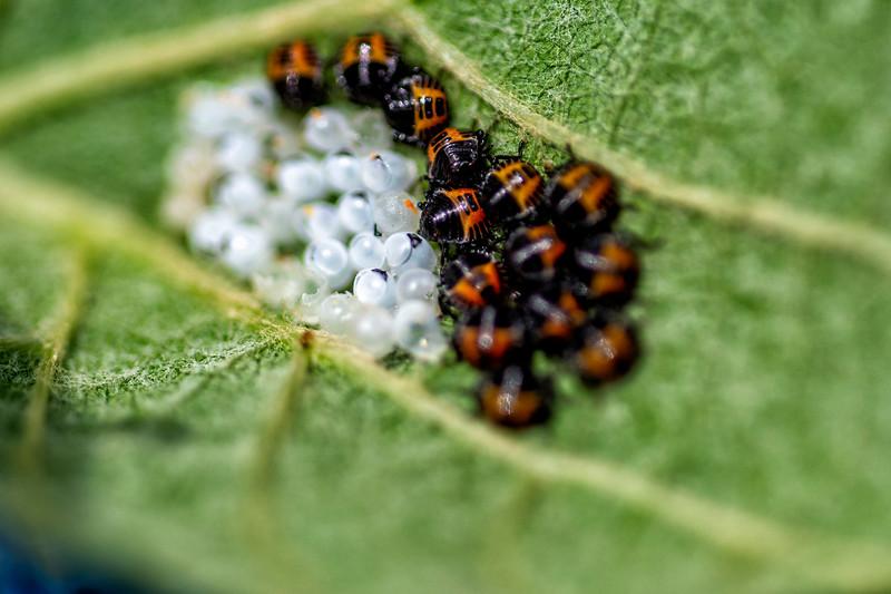 Birth of Ladybugs