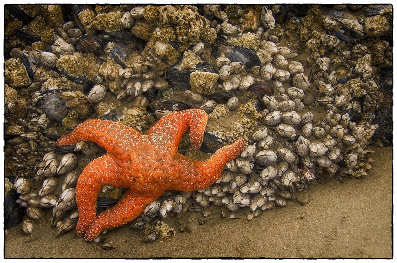 Starfish at Low Tide: Yachats, Oregon