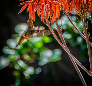 Humming Bird at Aloe Vera Plant: Long Beach, California