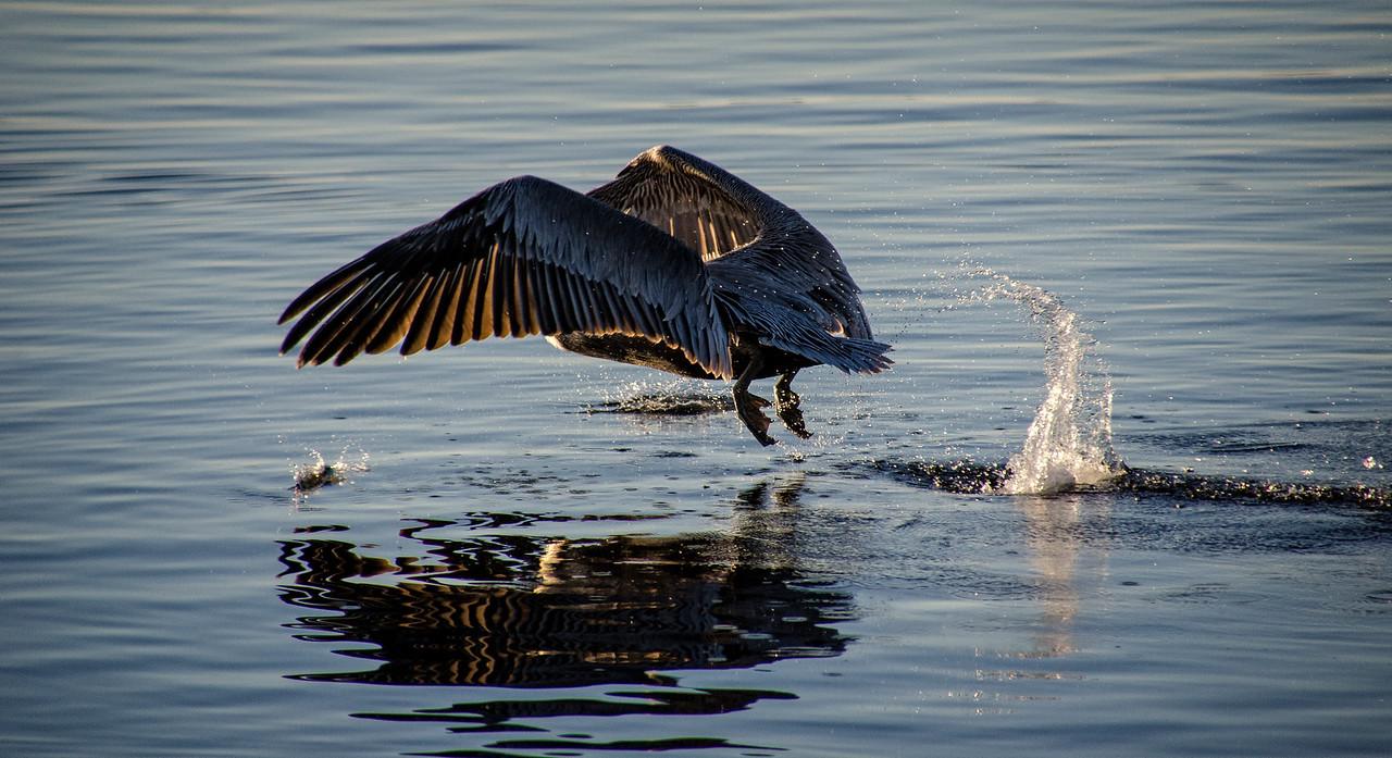 Brown Pelican and Fish