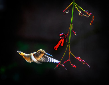 Allen's Hummingbird: Long Beach, California