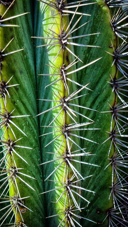 False Saguaro