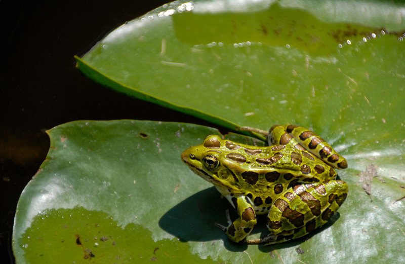 Northern Leopard Frog, Lockport, New York 2012