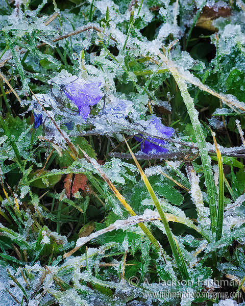 Harebells under autumn's first frost, Chama Basin, Colorado, October 2010.