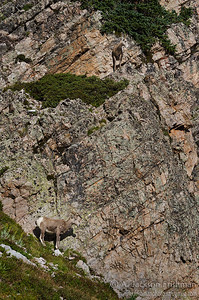 Bighorn sheep in New Mexico's Pecos Wilderness, September 2011.