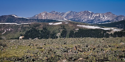 Bighorn ram and the Truchas Peaks, Pecos Wilderness, New Mexico, June 2012. (Please enlarge!)