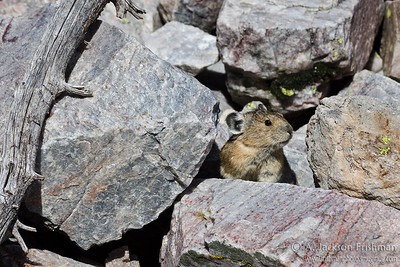 Pika in New Mexico's Pecos Wilderness, September 2011.