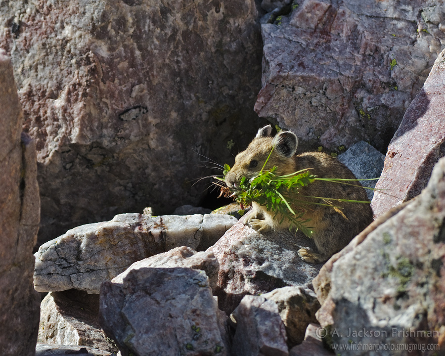 A pika gathering winter stores, Pecos Wilderness, New Mexico, September 2011.