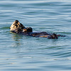 California Southern Sea Otter - Feeding