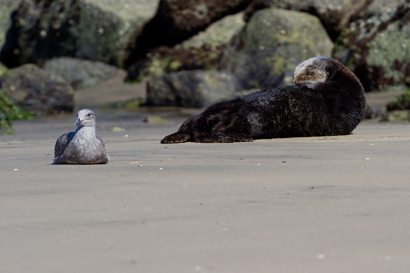 California Southern Sea Otter - eyeing a nearby sea gull