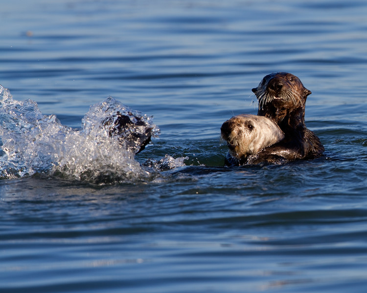 California Southern Sea Otters - At-Play